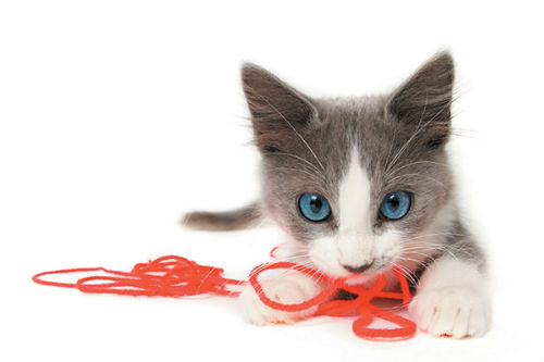 Gray and white kitten with string