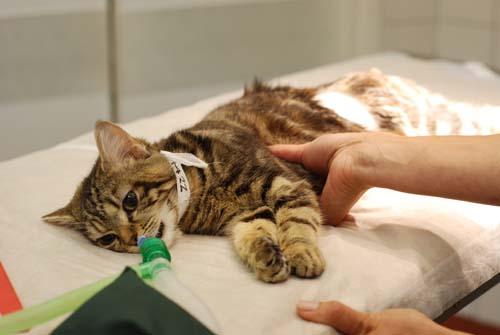 осложнения беременности у кошек